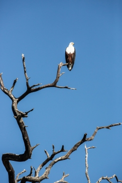 Fish Eagle Kafue National Park